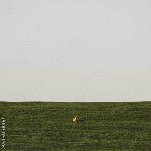 A startled white tail deer in a field of lush, green wheat crop growing near Pullman, in Washington state.