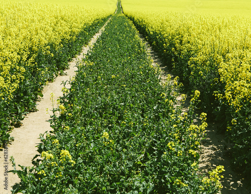 Road through field of yellow flowering mustard seed plants growing in Spring, near Pullman, Washington, USA