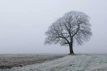 Frost on the land and a beech tree in winter.