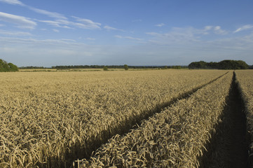 A field of ripening wheat crop.