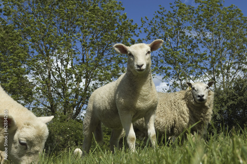 Sheep grazing in field.