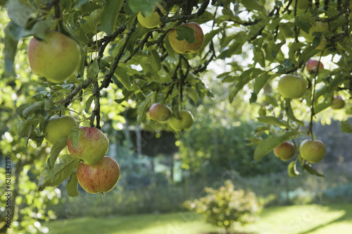 Fruit hanging from a bough on an apple tree.