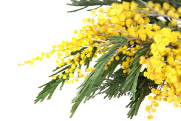 Twigs of mimosa flowers, close up