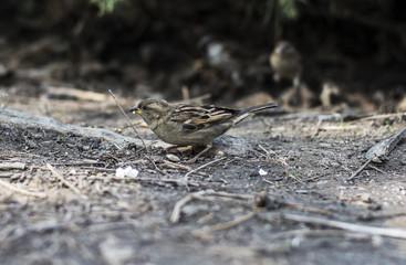 Sparrow eats popcorn