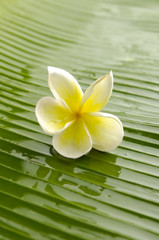 Single white plumeria on wet banana leaf