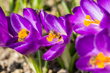 Crocuses and Bees