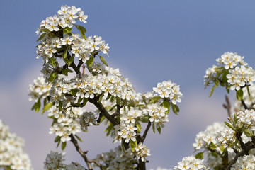 bee on peach tree