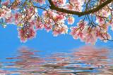 Magnolien am Wasser