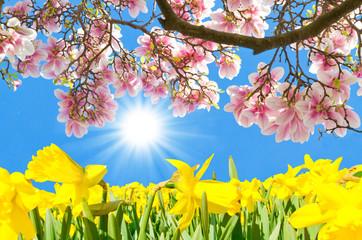 Sunny day in spring - Magnolien und Narzissen