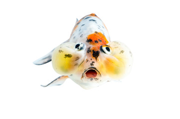 Gold fish  : Clipping path included