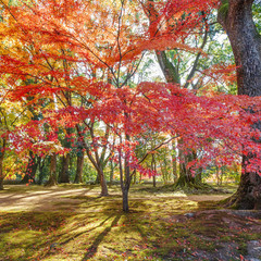 Red Maple leaves in a garden in autumn