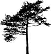 pine tree black silhouette illustration