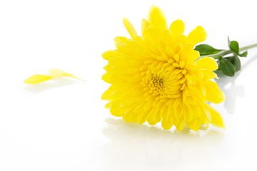 Yellow chrysanthemum and shadow effect
