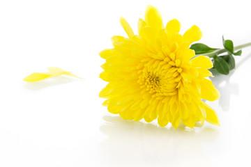 Yellow chrysanthemum and shadow effect