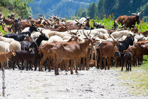 The goat herd on mountain dirt road