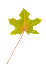 Sycamore leaf