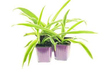 Seedlings of chlorophytum