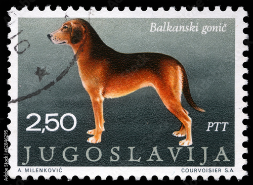 Stamp printed in Yugoslavia shows the Serbian Hound, circa 1988