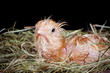 Young chick in nest