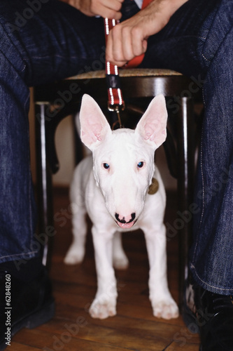 A Staffordshire bull terrier dog with a white coat, under a table straining against his leash.