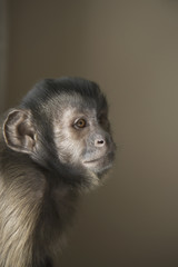 A capuchin monkey seated, head and shoulders.