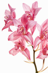 Pink orchid flowers on a flowering stalk.