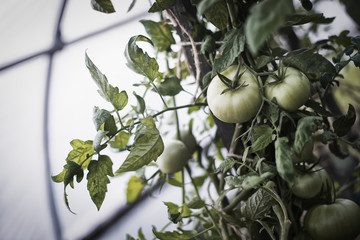 An organic farm. Tomato plants bearing fruit. Growing in a polytunnel.