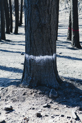 Trees burned by forest fire, marked for cutting from the Taylor Bridge fire