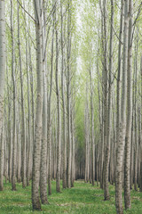 Poplar tree plantation, tree nursery growing tall straight trees with white bark in Oregon, USA