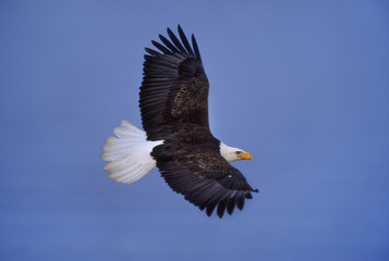 Bald eagle in flight, Haliaeetus leucocephalus, Southeast Alaska