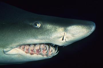 Sand tiger shark, Carcharias taurus, Vancouver Aquarium, British Columbia, Canada
