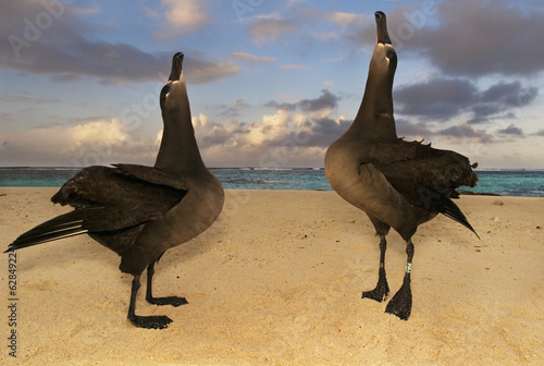 Black-footed albatrosses, Phoebastria nigripes, in a courting display on the beach at Tern Island, Hawaiian Leeward Islands