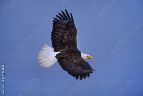 Bald eagle in flight, Haliaeetus leucocephalus, Southeast Alaska
