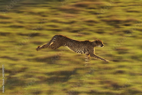 Cheetah running, Acinonyx jubatus, Native to Africa