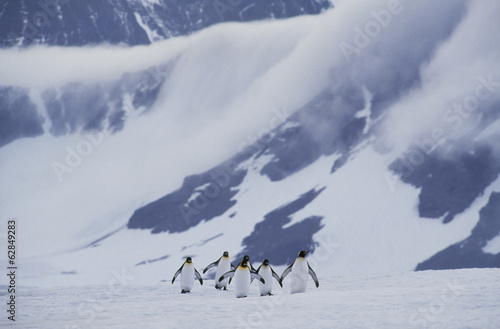 King penguins crossing ice, Aptenodytes patagonicus, South Georgia Island