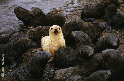 Antarctic fur seal pups with one blond morph, Arctocephalus gazella, South Georgia Island