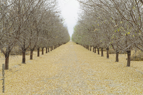 Rows of pistachio trees, San Joaquin Valley, near Bakersfield