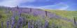 Field of lupins. Lupinus jaimehintoniana.