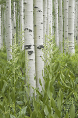Grove of aspen trees with white bark and wild flowers growing in their shade.