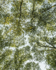 View from below up into the lush, green forest canopy  and spreading branches of Big leaf maple and alder in Seattle.