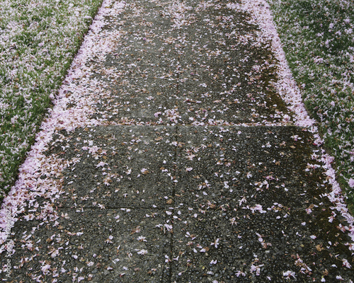 Pink fallen cherry blossom petals blown across the pedestrian sidewalk in Seattle in spring.