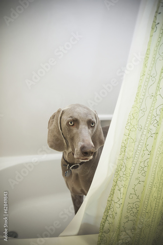 A Weimaraner puppy peering around the shower curtain in a bathroom.