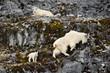 Mountain goats and kid, Glacier Bay National Park and Preserve, Alaska