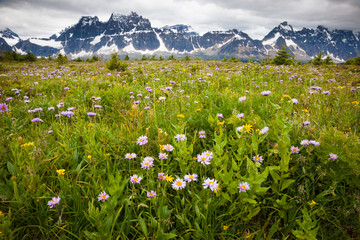 Wildflowers, Jasper National Park, Alberta, Canada
