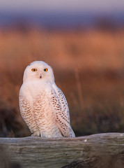 Snowy owl, George C. Reifel Bird Sanctuary, British Columbia, Canada