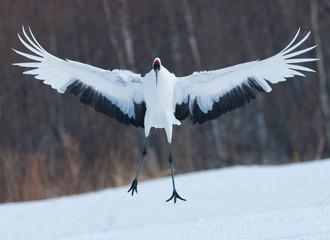 Japanese crane, Hokkaido, Japan