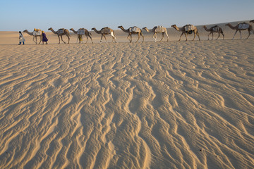 Camel train, a group of animals haltered and led by two people on the windswept sands of the Sahara desert in Mali.