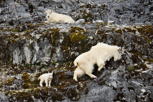 Mountain goats and kid, Glacier Bay National Park and Preserve, Alaska