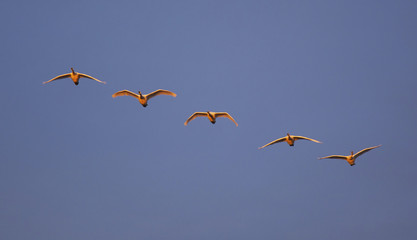 Trumpeter swans flying in formation over the Skagit Valley, Washington.