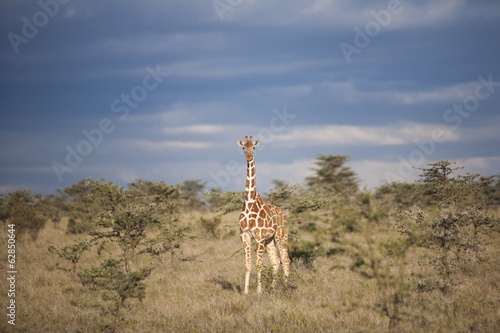 Reticulated giraffe, Kenya